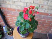 Geraniums (Pelargonium x hortorum) plant in a 15 cm pot