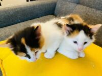 Cute Turkish Kittens for Sale