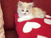 Beatiful 12 Week Old Persian Kitten Need New Home
