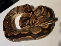 Adult male sugar royal ( ball ) python / snake