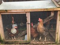 Beautiful Chicken coop and 3 Hens for sale.