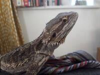 Friendly bearded dragon with vivarium, lights etc