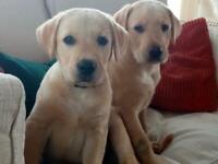 Urgent - 2 Golden Labrador Male pups now reduced.