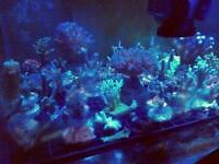 Marine coral sps/ lps