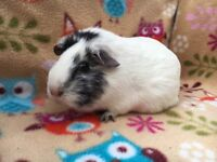 ** PRETTY FEMALE GUINEA PIG **