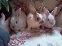 Baby Velvet soft Mini Rex 1 doe 2 bucks