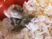 Baby dwarf hamsters (Roborovski)