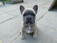 French Bulldog Lilac & Fawn Puppies