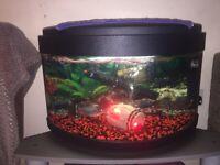 Red-Bellied Piranha X3 inc. Tank & Accessories!