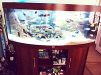 5' bow fronted aquarium with approx 35 African malawi cichlids