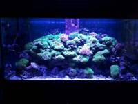 Marine aquarium long lash green star polyps frags