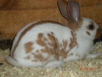 English rabbits