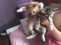Boys kittens 8 weeks old