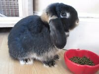 Lovely friendly mini lop buck rabbit seeks loving indoor/outdoor forever home