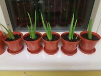 Aloe vera plants for sale