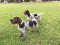 Live-in Dog Nanny or Au Pair - Forest of Dean, Glos