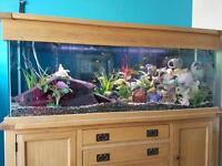 6ft Oak Aquarium Malawi Cichlid Full Setup