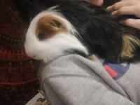 2 male guinea pigs looking for a new homw