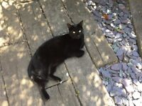 Lost cat black with white paw