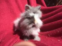 Purebred baby lionhead rabbits - girls