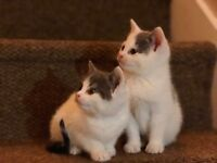 Last 2 grey and white kittens for sale