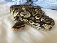 Snake Collection For Sale - Burmese Python and Royal Pythons