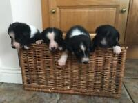 Border Collie Pups / puppies
