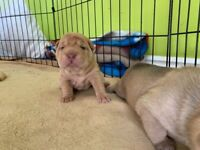 Shar pei pups one male left