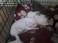 Staffordshire bull terrier x American bulldog pups.