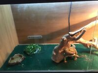 Bearded dragon and viv for sale.
