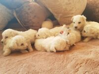 Adorable litter of pure pedigree bichon frise puppies