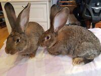 Rabbit Flemish