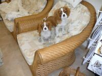 Blenheim cavalier king charles puppies