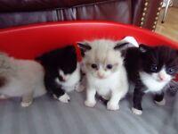 Beautiful Ragdoll Cross kittens for sale