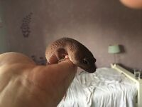 Gecko free to good home