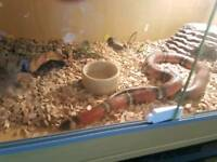 Sinaloan male Milksnake with viv setup.