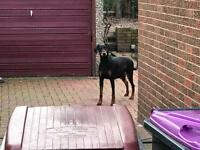 Doberman bitch two years old very obedient and clever needs a new home