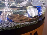 Large pleco fish 12 - 14 inch