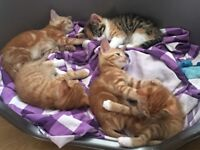 Mother and 3 kittens for sale