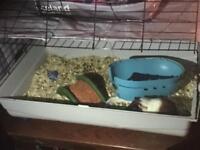 Alice the guinea pig