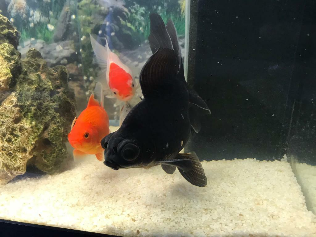 Gold fish for sale | in Wollaton, Nottinghamshire | Gumtree