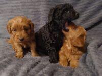F1b Cockapoo puppies for sale