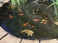 Pond fish/koi (around 14) need a good home, INCL Ghost koi, red and golden