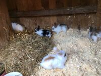 Long hair lion head/Dutch lop ear baby rabbits 8 weeks old looking for good homes £10 or donation !