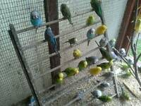 Budgies for sale in yate bristol bs374ey post code areas