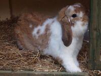 Mini lop eared rabbit rabbits for sale Edinburgh Midlothian penicuik