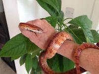 3 Carolina Corn Snakes- two years old needing good homes