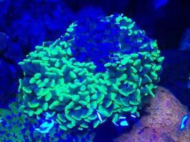 1 Bright green branching hammer head coral for marine fish aquarium