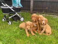 Cocker spaniel puppies boys health tested