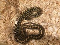 Female garter snake